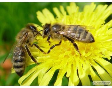 Продам пчеломатки Полесской породы пчел!!!!
