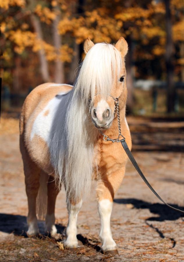 мініатюрний американський кінь з документами