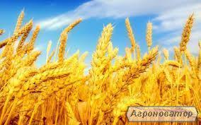 Продам пшеницю 3 кл