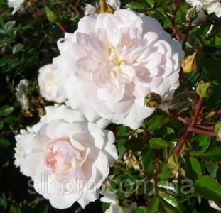 Роза почвопокровное Sea Foam (Сіафом)