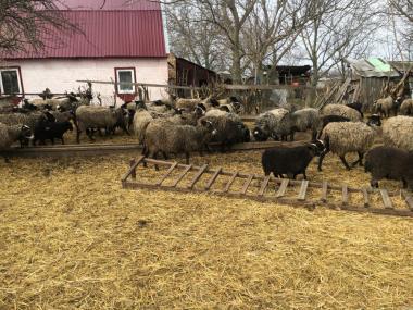 продам вівці чисто порода романовска