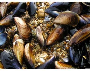 Продам мідії живі чорноморські в черепашці