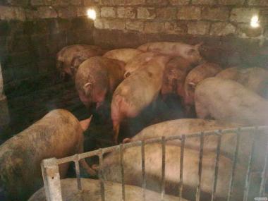Продам м'ясних свиней поросят 30 голів