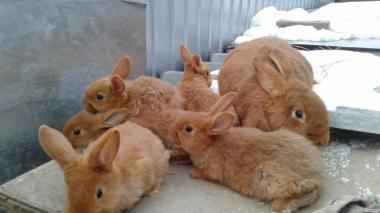 кролики НЗК