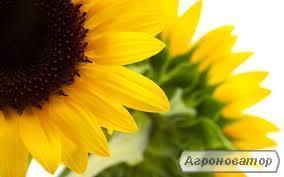 Форвард.Гібрид соняшнику від виробника.