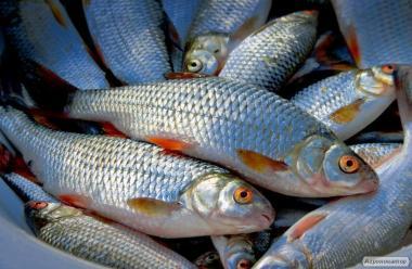 Риба свіжа та см
