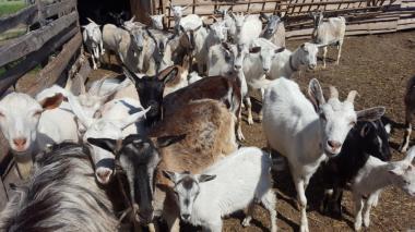 Продам стадо кіз