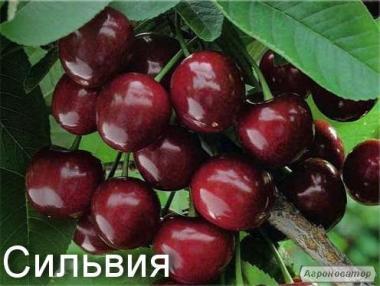 Саджанці черешні сорту Сільвія, від виробника
