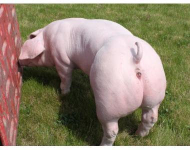 Племенной молодняк свиней