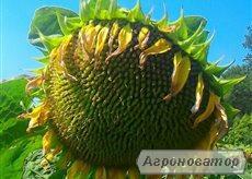Насіння соняшника « ИМИСАН» під Евролайтинг
