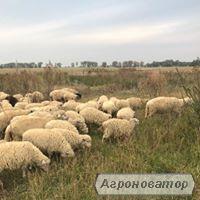Продам вівці - порода цигай