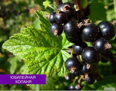 Саженцы смородины черной (ТОЛЬКО ОПТ)