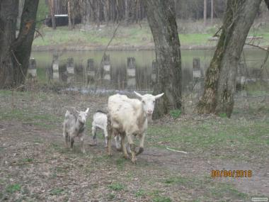 Продам 5 кіз та 4 козла поштучно або разом.