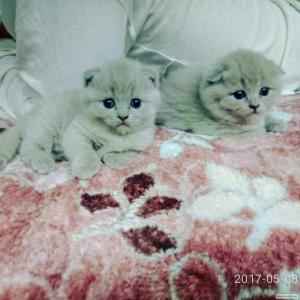 Продам кошенят Скоттиш Фолд