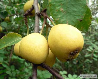 Саженцы груши сорта  Лимонка, от производителя