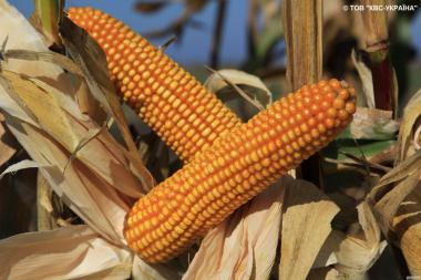 Насіння кукурудзи Богатир від виробника КВС (KWS)