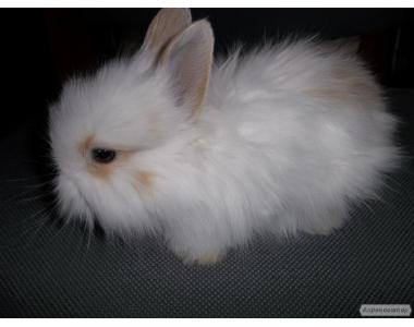 Купити карликового кролика в Дніпропетровську