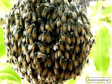 Продаю семьи и выводка бджолів