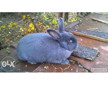 продам самца кролика 10 месяцев породистого. Венский голубой. цена дог