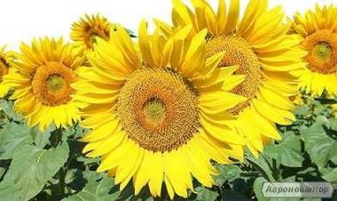 Кондитерський соняшник, сорт Люкс