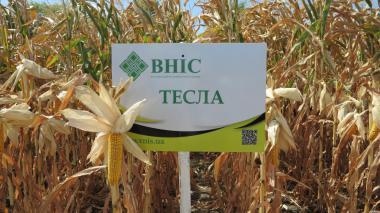 Семена кукурузы Тесла (ФАО 350) от производителя
