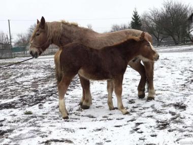 Продаются лошади тяжеловозы