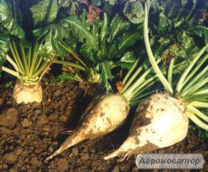 Пропонуємо насіння цукрових буряків гібрид «Авторитетний»