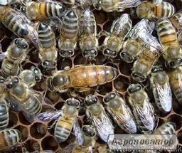 плодные пчеломатки Бакфаст, матки, пчеломатки
