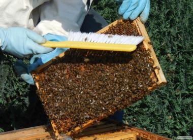 Здоровая, ухоженная, продуктивная пчела!