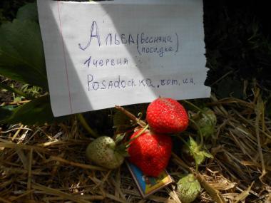 Продаю саджанці полуниці сортів Ельсанта, Роксана, Альба, Сирія,