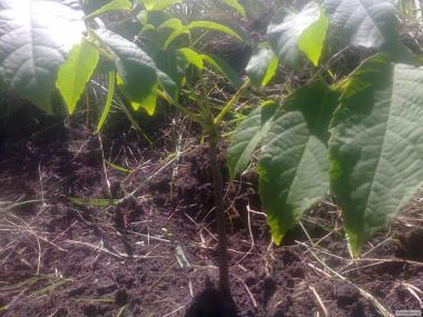 Саженцы и семена грецкого ореха