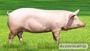 Комбікорм для свиней 30-110 кг