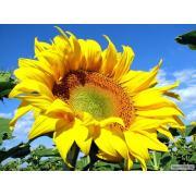 Продам соняшник олійний, високоолеіновий зі складу. Сельхозпр.