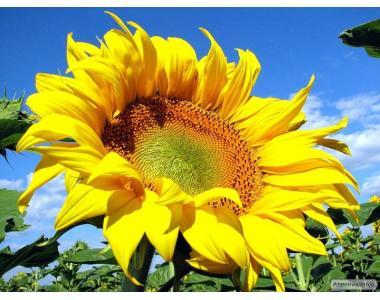 Продам соняшник олійний зі складу. Сельхозпр.