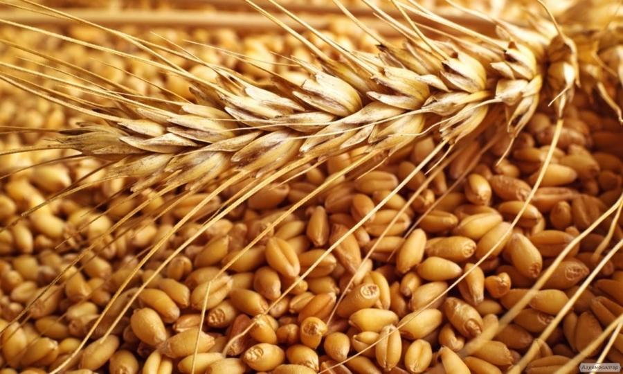 Пшениця фуражна на експорт 50 000 т. Постачання CIF, FOB. Порт Одеса