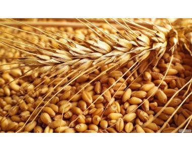 Пшеница фуражная на экспорт 50 000 т. Поставка CIF,  FOB.  Порт Одесса
