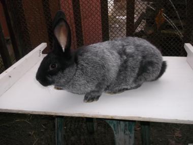 кроленята полтавське срібло