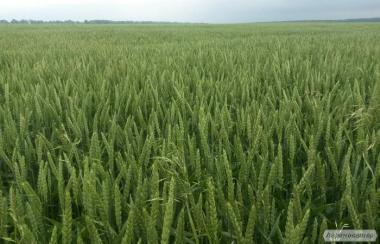 Семена озимой мягкой пшеницы Скаген, 1 репродукция