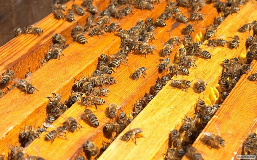 Бджолопакети Карпатської породи високої якості в 2020 році