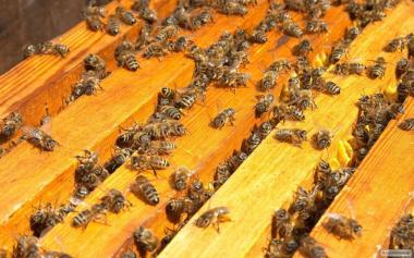Пчелопакеты Карпатской породы высокого качества в 2020 году