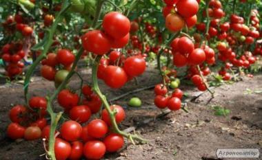 Продажа помидор крупным оптом