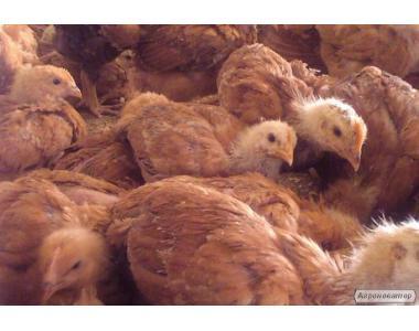Цыплята подрощенные и суточные Тетра-Н