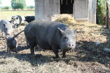 Свиньи вьетнамские выносливые