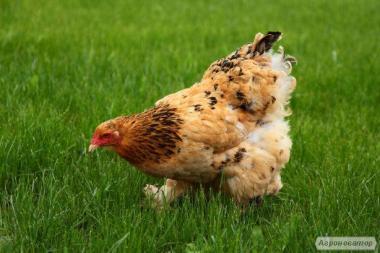 Продам яйцо куриное. (Свободного выгула) опт, розница.