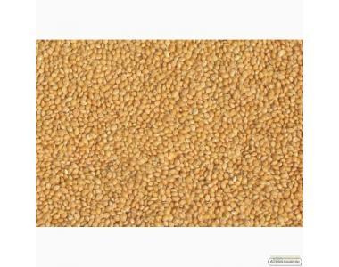 Семена желтого посевного проса сорта Киевское-96