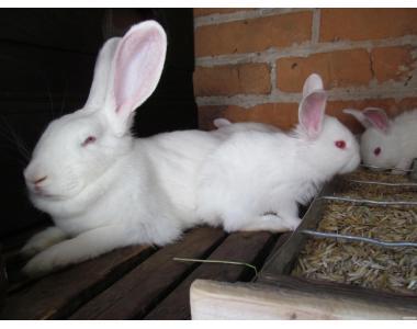 Продам кроликів білий панон, полтавське срібло, французький баран.
