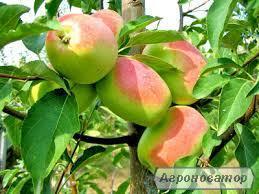 Саженец яблони Сари Синап