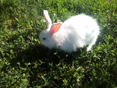 Продам взрослую пуховую крольчиху