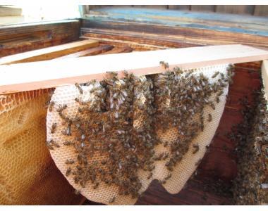 Продам бджолопакети та бджолосім'ї