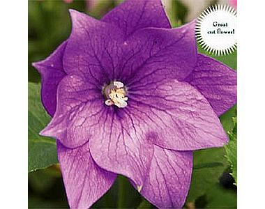 Платикодон Astra Double Lavender